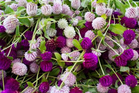 dof: Purple and white globe amaranth beautiful background. Stock Photo