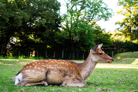 nara park: Sika young Deers at Nara Park. Stock Photo