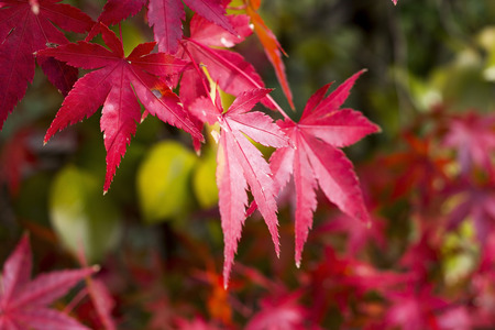 changing color: Background of beautiful autumn leaf changing color from green to orange until red and falling down Foto de archivo
