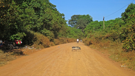 dusty: Pig crossing dusty street in Cambodia
