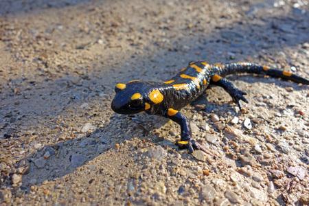 salamandra: salamandra gergeous en Austria Foto de archivo