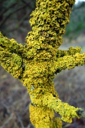 lichen: Lichen on tree