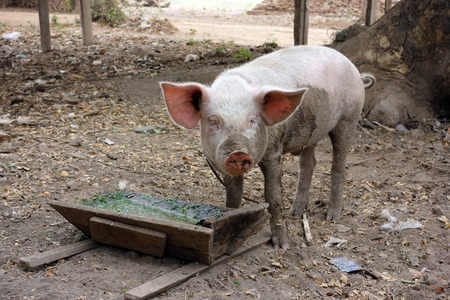 piglet eating out of wooden trough