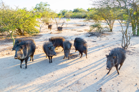 Group of wild Chacoan peccary, Paraguay Chaco, Gran Chaco, Paraguay, Latin America, South America. Banco de Imagens