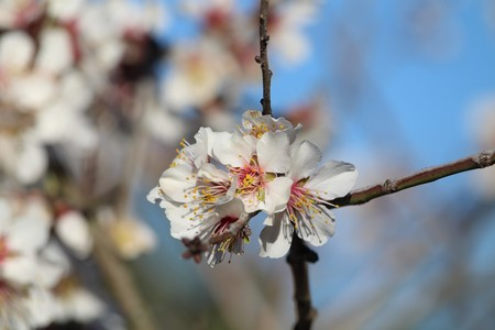 Beautiful almond blossom, which gives you some tasty fruit