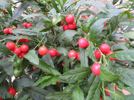 Precious berries of intense color but those do not eat 版權商用圖片