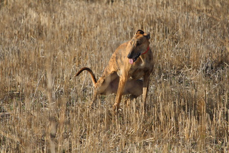 Beautiful Dog debugging Spanish race that used to hunt hares Stock Photo