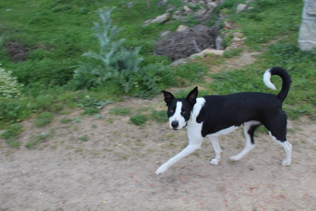 Beautiful black and white dog that is very affectionate with humans