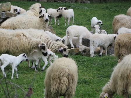 Schöne Schafe grasen auf der Wiese und sind froh, frei zu sein