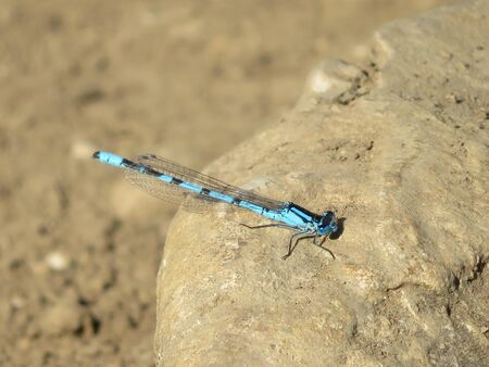 Beautiful dragonfly in intense color resting for the photo 版權商用圖片