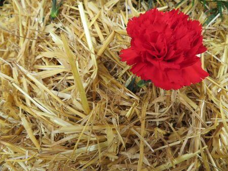 Beautiful red flowers of nice color and great aroma tucked in straw
