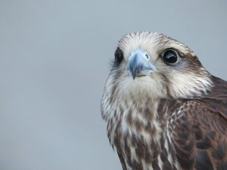 Beautiful picture of birds of prey of great size and penetrating stare Stockfoto