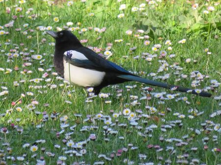 Beautiful black and white bird that leaves no closer people
