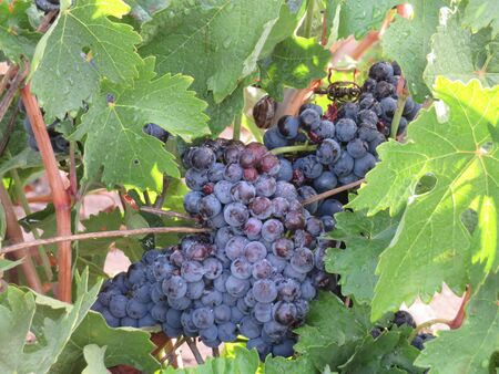 Beautiful photo of grape bunches of nice color and great taste