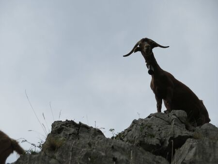 Beautiful goats in freedom eating grass of the field and the mountain Stockfoto