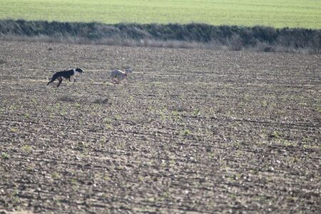 Beautiful day of hunting with dogs running behind the hare trying to pick it up