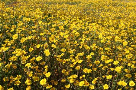 serenety: field of daisies