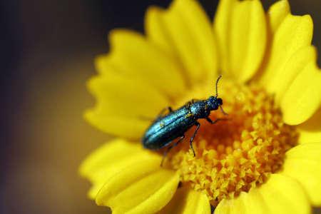 serenety: Macro shot from bug in daisy