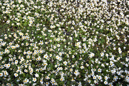 serenety: field of small white daisies Stock Photo