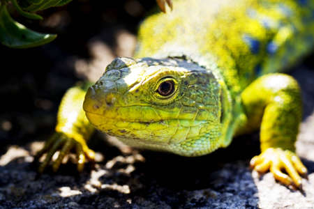 close up of green lizard lying in the sun