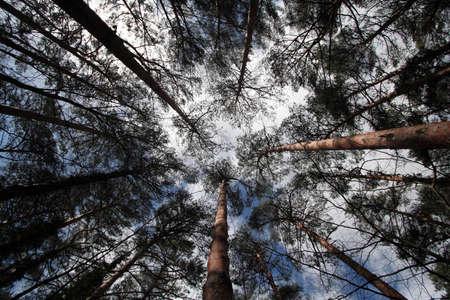 bellow: De alto y delgado �rboles visto desde abajo con el cielo azul  Foto de archivo