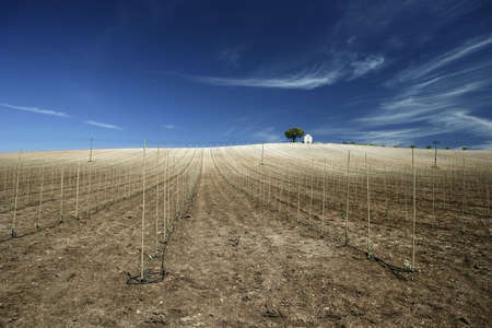 hiilltop vineyard in hot summer day with deep blue sky Stock Photo - 3114390