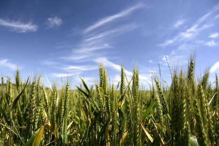 cosecha de trigo: campo de cultivo de ma�z en el verano  Foto de archivo