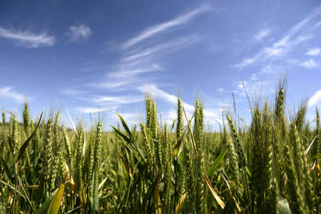 crop cultivation: corn crop field in summer Stock Photo