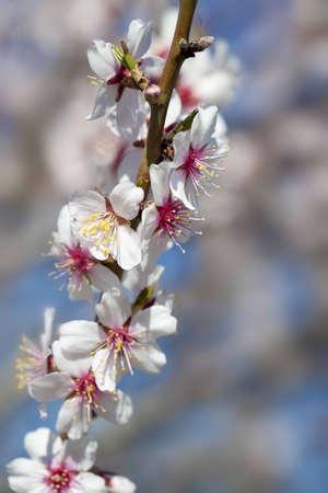 mandorlo vicino dettaglio con fiori bianchi e rosa e azzurro del cielo in background - concentrarsi sui fiori