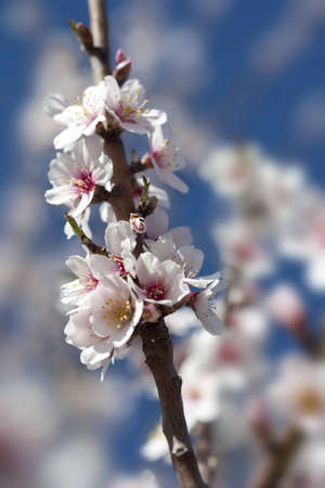 almond tree close up detail with white and pink flowers and blue sky in background - focus on the flowers photo