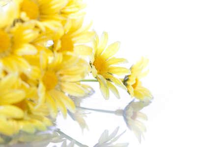 dinamismo: giallo daisys isolato su sfondo bianco - shallow DOF aggiuntivo dinamismo.