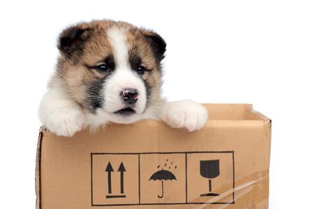 a watchman: husky puppy