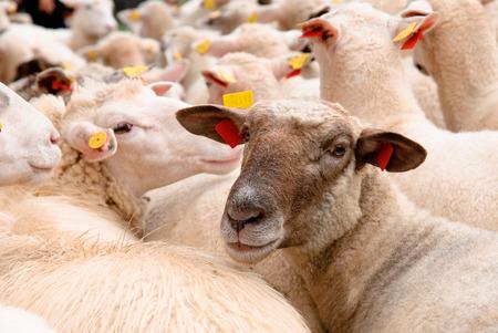 flock of sheep: Sheep in flock looking at camera