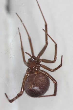 picture of a closeup macro of a false widow, Steatoda grossa, in her net taken in Spain
