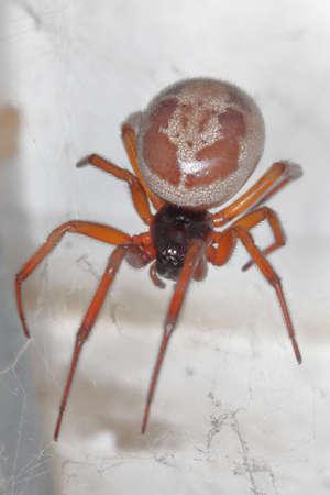 closeup/ macro of a false black widow, Steatoda nobilis, in her net