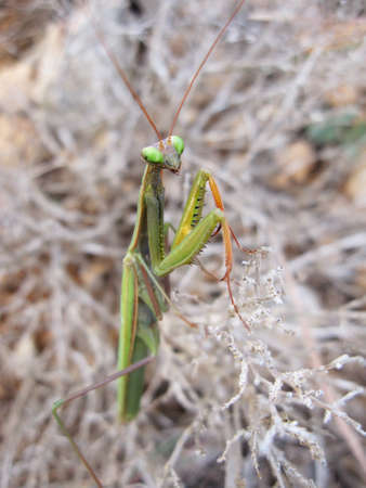 macro/closeup of a mantise praying mantis religiosa