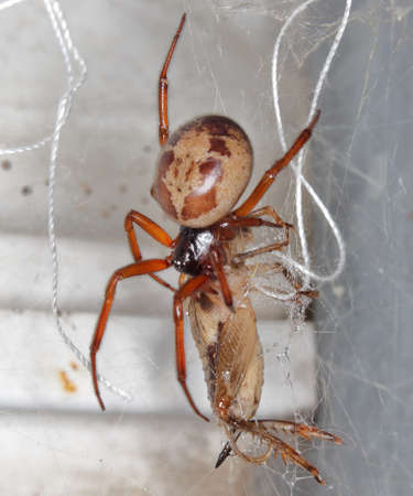 closeup/ macro of a false black widow, Steatoda nobilis, in her net with its prey a cricket