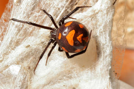 close-up/macro of an european black widow female Latrodectus tredecimguttatus in her net. Banco de Imagens