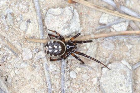 closeup/ macro of a false widow,Steatoda albomaculata,in its net overa rock