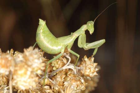 macro/closeup of a mantise praying mantis Ameles spallanzania Archivio Fotografico