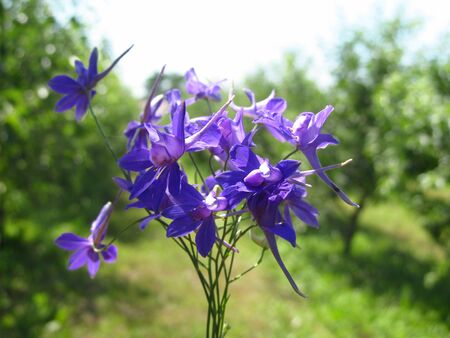 Harebell wildflowers - Campanula rotundifolia in the meadow Imagens