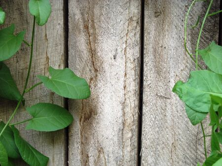 Convolvulus growing on cracked aged wooden wall painted wood planks texture background backdrop Imagens