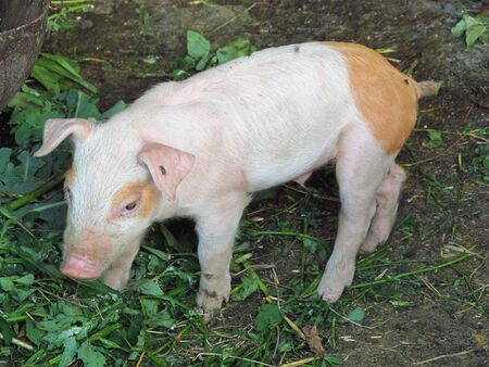 profile view of young pig near the farm 版權商用圖片