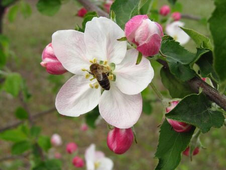 Apple flower, flowers on a tree, blossoming garden, sunny day