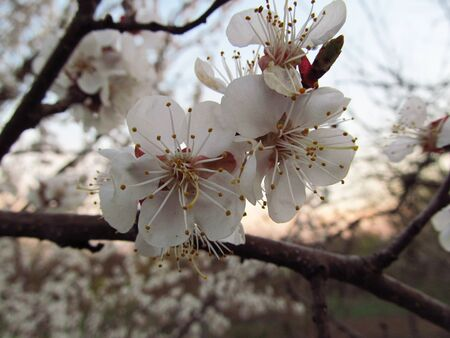 Apricot flower in spring in the garden Stock Photo