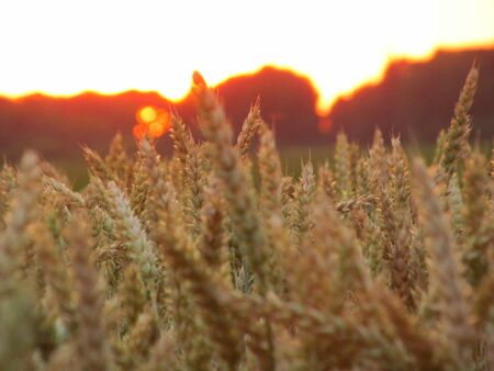 Spikes of wheat on the field. Wheat close-up. At the side of the sunset over the forest