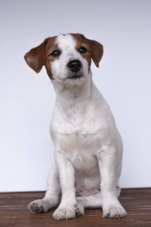 Jack Russell Terrier, a dog on a white background 스톡 콘텐츠