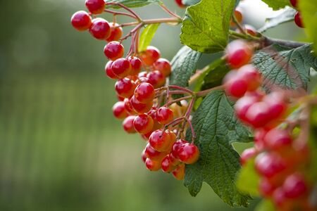 Red viburnum on a branch in the garden near the well. Banque d'images