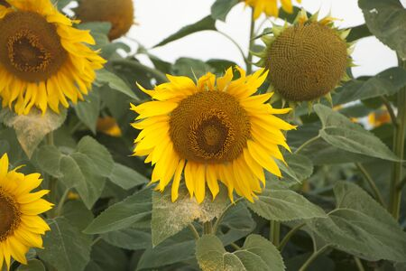 On the field of sunflowers with morning sunlight. Field of sunflower farming plantations.