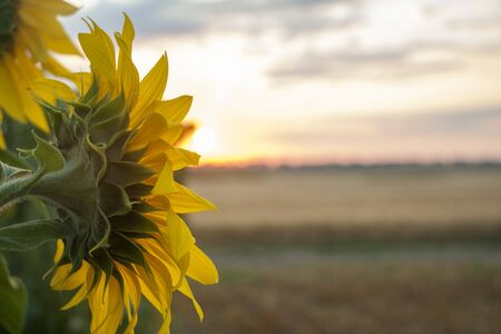 On the field of sunflowers with morning sunlight. Field of sunflower farming plantations. Flower in the east sun